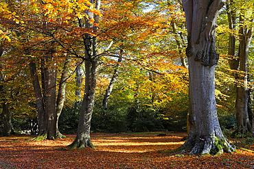 Autumn colours in a woodland near Rufus Stone, New Forest National Park, Hampshire, England, United Kingdom, Europe