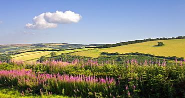 Summer wildflowers near Luxborough in Exmoor National Park, Somerset, England, United Kingdom, Europe