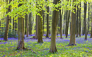 Bluebell woodlands in Micheldever Wood, Hampshire, England, United Kingdom, Europe