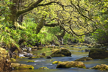 Twisted trees overhang a rocky Badgworthy Water in the Doone Valley, Exmoor, Somerset, England, United Kingdom, Europe