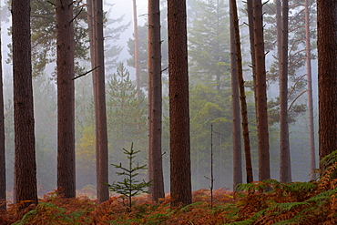 Sapling growing in a misty pine wood, New Forest, Hampshire, England, United Kingdom, Europe
