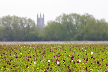 Snake's head fritillary (Fritillaria meleagris) wildflowers at North Meadow National Nature Reserve, Cricklade, Wiltshire, United Kingdom, Europe