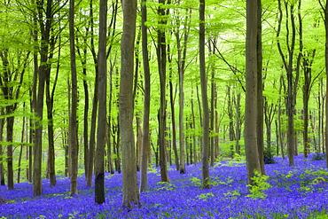 Carpet of bluebells growing in the beech woodland at West Woods, Lockeridge near Marlborough, Wiltshire, England, United Kingdom, Europe