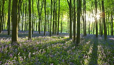 Early morning sunlight in West Woods bluebell woodland, Lockeridge, Marlborough, Wiltshire, England, United Kingdom, Europe
