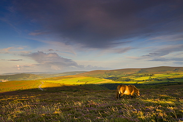 Exmoor pony grazing on Porlock Common, Exmoor National Park, Somerset, England, United Kingdom, Europe