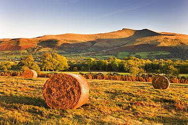 Bracken bales on Mynydd Illtud Common, looking towards Corn Du and Pen y Fan in the Brecon Beacons, Wales, United Kingdom, Europe