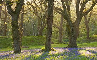 Bluebells growing in an oak woodland, Blackbury Camp, Devon, England, United Kingdom, Europe