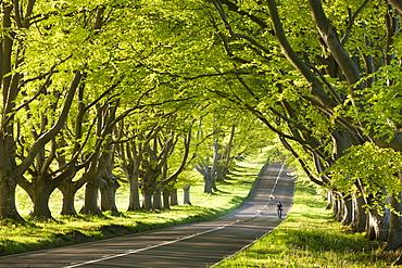 Cyclist riding along a beautiful beech lined country lane, Wimborne, Dorset, England, United Kingdom, Europe