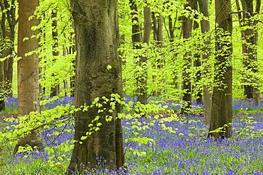 Bluebell carpet in a beech woodland, West Woods, Lockeridge, Wiltshire, England, United Kingdom, Europe