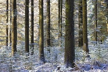 Dusting of snow in a pine woodland, Fernworthy, Dartmoor National Park, Devon, England, United Kingdom, Europe