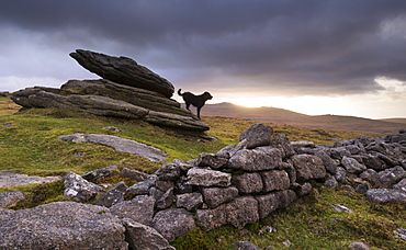 The Hound of the Baskervilles, roaming Belstone Tor on Dartmoor National Park, Devon, England, United Kingdom, Europe