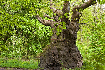 Over 1000 years old, the Big Belly Oak is the oldest tree in Savernake Forest, Marlborough, Wiltshire, England, United Kingdom, Europe
