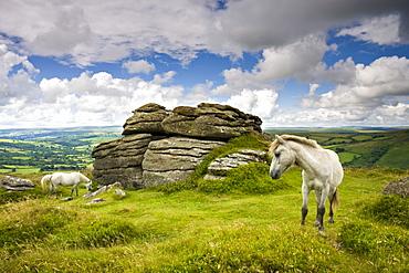 Ponies graze in the summer sunshine beside Chinkwell Tor in Dartmoor National Park, Devon, England, United Kingdom, Europe