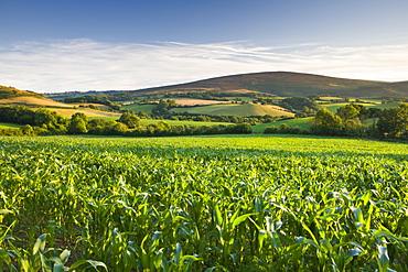 Summer crop field near Tivington, Exmoor National Park, Somerset, England, United Kingdom, Europe