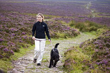 Young woman walking labradoodle dog on moorland path, surrounded by flowering heather, Exmoor National Park, Somerset, England, United Kingdom, Europe