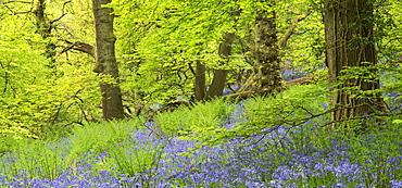 Bluebell woodland in Priors Wood, Portbury, Avon, England, United Kingdom, Europe