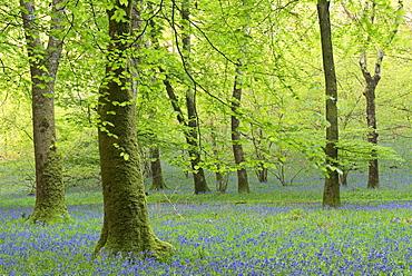 Bluebell woodland in spring, Exmoor National Park, Somerset, England, United Kingdom, Europe