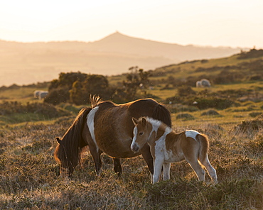 Dartmoor pony and foal grazing on moorland with Brentor beyond, Dartmoor, Devon, England, United Kingdom, Europe
