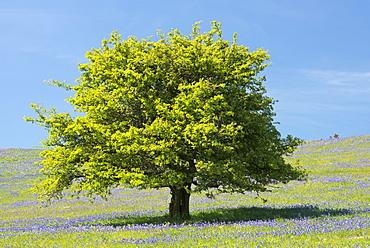 Hawthorn tree and bluebells flowering on Holwell Lawn, Dartmoor, Devon, England, United Kingdom, Europe