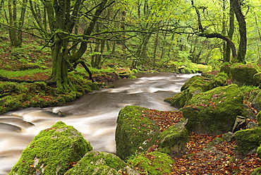 The River Fowey flowing though Draynes Wood at Golitha Falls National Nature Reserve in autumn, Cornwall, England, United Kingdom, Europe