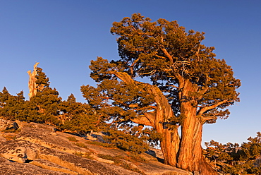 Ancient pine tree growing on the mountains above Olmstead Point, Yosemite, California, United States of America, North America