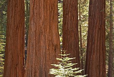 Giant Sequoia trees (Sequoiadendron giganteum) in Mariposa Grove, Yosemite National Park, UNESCO World Heritage Site, California, United States of America, North America