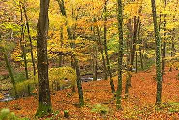 Autumn colours in Watersmeet, Exmoor National Park, Somerset, England, United Kingdom, Europe