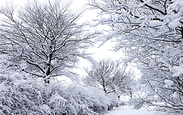 Snow covered trees in winter, Exmoor National Park, Somerset, England, United Kingdom, Europe