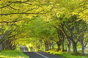 Ancient beech tree avenue at Kingston Lacy in spring, Badbury Rings, Dorset, England, United Kingdom, Europe