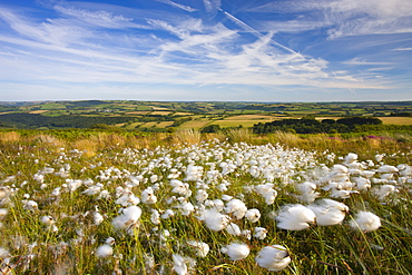 Cotton grass growing on the moorland at Dunkery Hill, Exmoor National Park, Somerset, England, United Kingdom, Europe