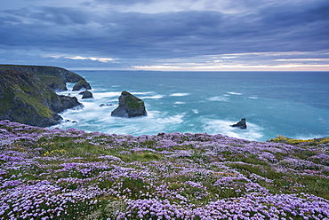 Pink thrift wildflowers (Armeria maritima) flowering on the cliff tops above Bedruthan Steps on the Cornish Coast, Cornwall, England, United Kingdom, Europe