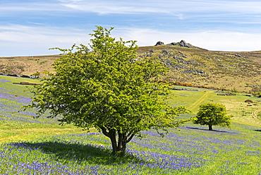 Bluebells flowering on Holwell Lawn, Dartmoor, Devon, England, United Kingdom, Europe
