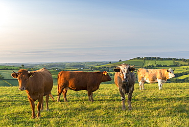 Cattle grazing in the English south west countryside, Devon, England, United Kingdom, Europe
