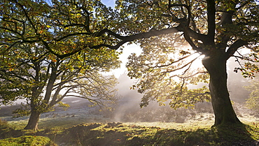 Early morning sunlight burns through mist at Holme Wood near Loweswater, Lake District National Park, Cumbria, England, United Kingdom, Europe