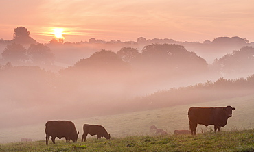 Red Ruby cattle grazing in the Devon countryside at dawn on a misty autumn morning, Black Dog, Devon, England, United Kingdom, Europe