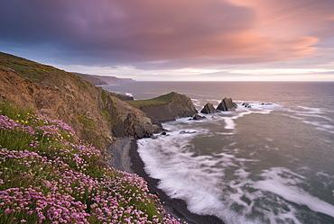Sea pink wildflowers flowering on the clifftops at Hartland Quay, looking towards Screda Point, Devon, England, United Kingdom, Europe