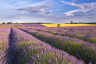 Lavender field in full bloom, Snowshill, Cotswolds, England, United Kingdom, Europe