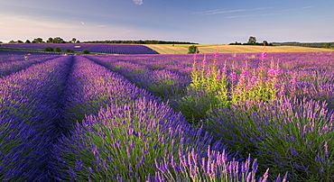 Rosebay willowherb (Chamerion angustifolium) flowering in a field of lavender, Snowshill, Cotswolds, Gloucestershire, England, United Kingdom, Europe