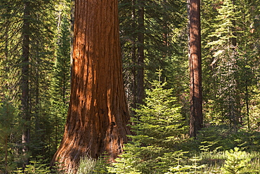 Giant Sequoia (Sequoiadendron giganteum) in a sunlit woodland, Mariposa Grove, Yosemite National Park, UNESCO World Heritage Site, California, United States of America, North America