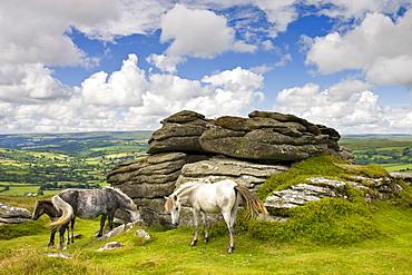 Ponies graze beside Chinkwell Tor in Dartmoor National Park, Devon, England, United Kingdom, Europe