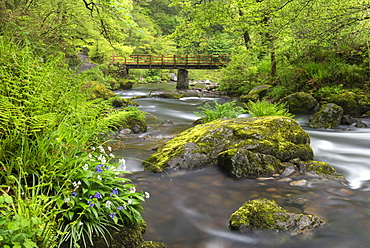 Wild garlic and bluebells flowering on the banks of the East Lyn River at Watersmeet, Exmoor National Park, Devon, England, United Kingdom, Europe