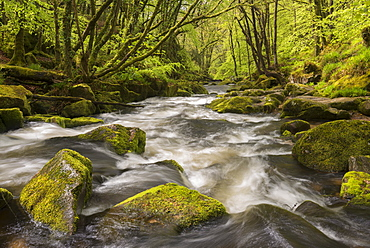 The River Fowey flowing through the moss covered woods at Golitha Falls in spring, Cornwall, England, United Kingdom, Europe