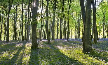 Carpets of bluebells flowering in deciduous woodland in spring, Exmoor National Park, Devon, England, United Kingdom, Europe