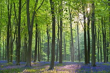 Carpet of flowering bluebells in a deciduous wood in spring, West Woods, Marlborough, Wiltshire, England, United Kingdom, Europe