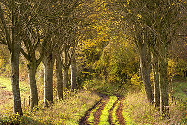 Tree lined track in autumn in rural Dorset, England, United Kingdom, Europe