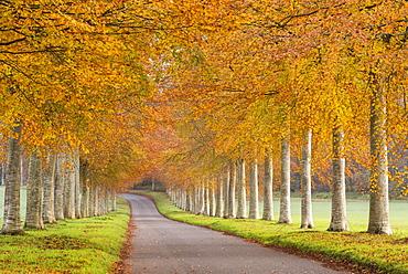 Colourful tree lined avenue in autumn, Dorset, England, United Kingdom, Europe