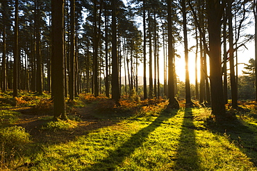 Morning sunshine streaming through woodland near Webber's Post, Exmoor, Somerset, England, United Kingdom, Europe