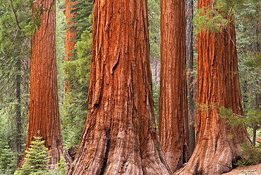 Bachelor and Three Graces Sequoia tress in Mariposa Grove, Yosemite National Park, UNESCO World Heritage Site, California, United States of America, North America