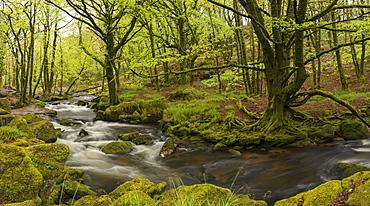 River Fowey at Golitha Falls, Cornwall, England, United Kingdom, Europe