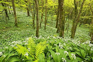 Wild garlic and ferns growing in a Cornish woodland in spring time, Looe, Cornwall, England, United Kingdom, Europe
